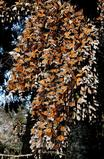 Monarch cluster (photo by Ernest Williams)