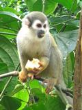 Squirrel monkey with a bit of banana.