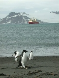Penguins in Arctowski Bay, seen on Hamilton's recent research trip to Antarctica.