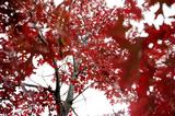 Scarlet Oak  (Quercus coccinea)  A tall, fast-growing tree in the Black Oak group. The tree was planted in celebration of the Class of 2010 senior gift to the College, The Class of 2010Environmental Sustainability Fund.