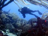 Ashleigh Smythe collecting sand in coral reef habitat, Tobago.