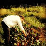 Derek Roy, Bon Appetit's new chef, picks Swiss chard from the Hamilton community garden for today's Eat Local Challenge.