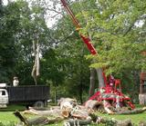 Tulip tree remains being hauled off