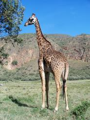 A giraffe in the Maasi Mara reserve.