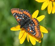 A Yellowstone checkerspot butterfly, as pictured on the cover of <em>Journal of the Lepidopterists' Society.</em>