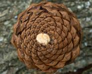 Spirals in a pinecone.