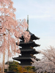 April 2010, Kyoto, Toji Temple, cherry blossoms