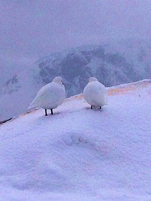Two snow petrels on Duthiers Point with Ronge Island in the background.