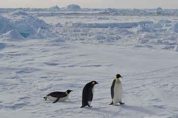 Curious penguins approach the Palmer without hesitation at our station on the outer shelf of the Larsen A.