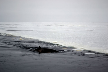 Minke whales take advantage of the open water created in the trail of the Palmer.