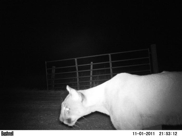 Female panther caught on camera trap PHOTO: C.JACOBS, UNIVERSITY OF FLORIDA