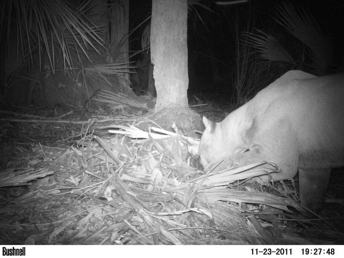 Male panther uncovering calf he had buried under debris (cache site) PHOTO: C.JACOBS, UNIVERSITY OF FLORIDA