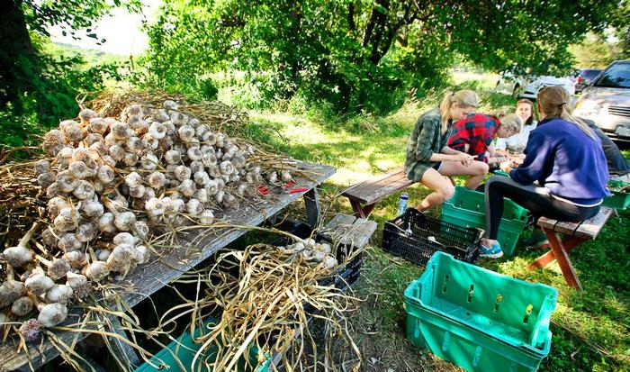 Students shuck garlic at Old Path Farms. PHOTO: NANCY L. FORD