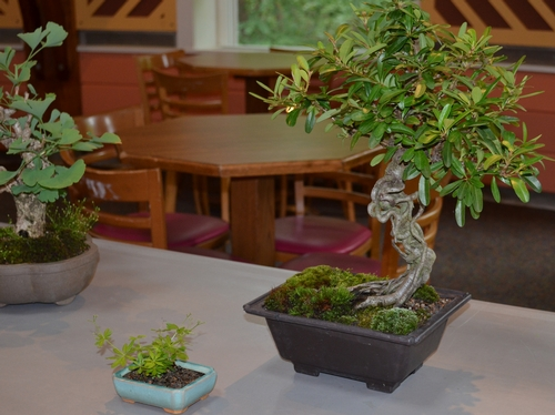 Cathy Brown won 2nd place for her bonsai trees.