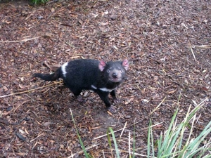 A Tasmanian devil at Bonorong Sanctuary