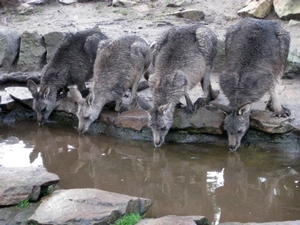 A group of kangaroos enjoying a drink at Bonorong Sanctuary