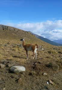 Guanacos roam free throughout Torres del Paine.