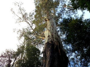 Gandalf's Staff is an 84m tall eucalyptus tree located on the Tolkien Track in the Valley of the Giants. This walking track is named for the large eucalyptus trees that resemble the massive Ents in the Lord of the Rings series.