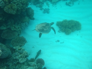 A sea turtle (Chelonia mydas) is one of the most exciting organisms to see on the Great Barrier Reef.  This turtle is swimming on top of cross bedded sediment and surrounded by the coral reef fringe.