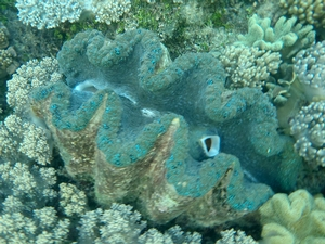 This Giant Clam (Tridacna squamosa) can be found all over the reefs that we visited. Both snorklers and divers got the opportunity to see these huge, multicolored clams anchored on the reef.