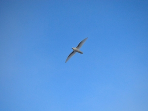 A beautiful white Petrel flying over the observation deck of the ARAON.