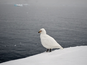 A curious snow petrel wandered by to watch us collect rock samples.